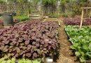Sayur Organik Potensi Masyarakat Cemorokandang